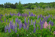 Lupines (Lupinus sp.) in roadside meadow<br /> Lunenberg<br /> Nova Scotia<br /> Canada