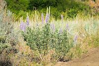 Common in many types of dry habitats in the western United States, silky lupine is a blooms in a variety of colors, usually blue to purple, they can sometimes be found in pink, yellow or creamy white. This large specimen was found in abundance in Central Washington's Cowiche Canyon.