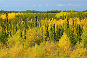 Autumn foliage in mixedwood forest<br /> near Ft. McMurray<br /> Alberta<br /> Canada
