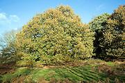 Autumn oak trees on heathland Suffolk Sandlings England