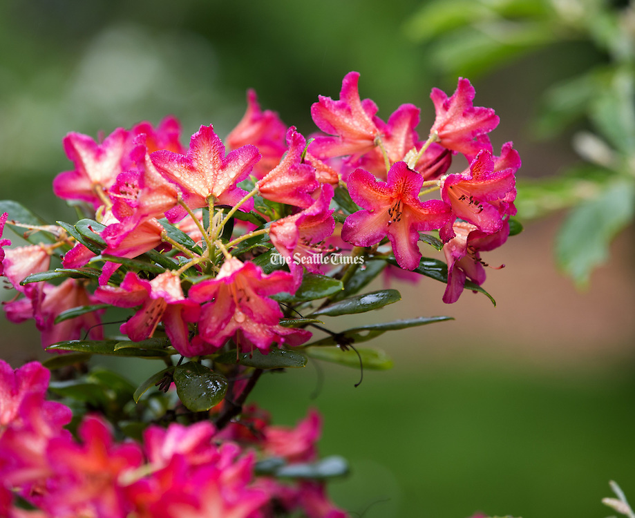 An azalea blooming. (Mike Siegel / The Seattle Times)