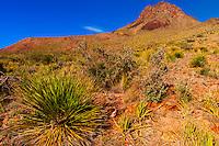 Yucca plant, Chihuahuan Desert, Big Bend National Park, Texas USA.