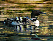 ADULT COMMON LOON, HIGHLAND LAKE, BRIDGTON, ME