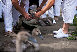 © Licensed to London News Pictures. 20/07/2015. A cygnet being weighed. Swan Upping takes place on the River Thames near Windsor, Berkshire, UK. The annual event dates from medieval times, when The Crown claimed ownership of all mute swans which were considered an important food source for banquets and feasts. Today, the cygnets are weighed and measured to obtain estimates of growth rates and the birds are examined for any sign of injury, commonly caused by fishing hook and line. The cygnets are ringed with individual identification numbers by The Queen's Swan Warden, whose role is scientific and non-ceremonial. The Queen's Swan Marker produces an annual report after Swan Upping detailing the number of swans, broods and cygnets counted during the week. Photo credit: Ben Cawthra/LNP