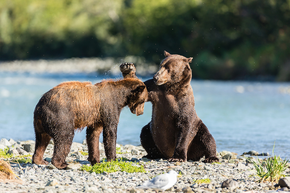 Brown bear (Ursus arctos) swipes its paw at another bear to assert dominance to fish for salmon along Geographic Creek at Geographic Harbor in Katmai National Park in Southwestern Alaska. Summer. Morning.