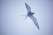 Arctic Tern, near Mushamna trapping station, Woodfjorden, Svalbard