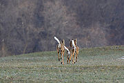 Three Whitetails Run Across a Farm Field in Early Spring