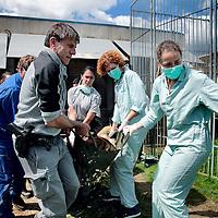 Frankrijk Lieusaint,21 mei 2015.<br /> Stichting AAP die zich inzet voor opvang en welzijn van verwaarloosde dieren waaronder diverse apensoorten haalt nu verwaarloosde 2 tijgers en 2 leeuwen op bij een failliete circus in het plaatsje Lieusaint in de buurt van Parijs om ze vervolgens een betere toekomst te geven in opvangcentrum Primadomus in de buurt van Alicante Spanje<br /> Op de foto: 1 van de tijgers kwam na verdoving alvorens te worden getransporteerd naar dierenopvang Primadomus in Spanje bijna niet meer bij bewustzijn.<br /> Haastig wordt de tijger vanuit zijn hok naar buiten gedragen.<br /> <br /> <br /> <br /> Foto: Jean-Pierre Jans