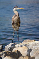 Great blue heron on thr shorline of the Severn River in Annapolis, Maryland.