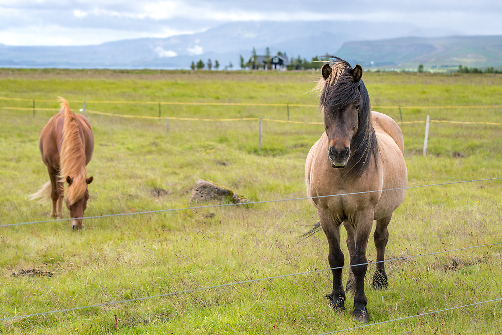 Iceland - Icelandic horse (pony) grazing on pasture