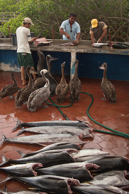 Galapagos Sea Lion (Zalophus wollebaeki) and Brown Pelicans (Pelecanus occidentalis) being fed fish guts from fisherman in market, Puerto Ayora, Santa Cruz Island, Galapagos Islands, Ecuador