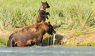 Sow brown bear (Ursus arctos) catches spawning salmon in Geographic Creek as her vigilant cub looks away at Geographic Harbor in Katmai National Park in Southwestern Alaska. Summer. Afternoon.