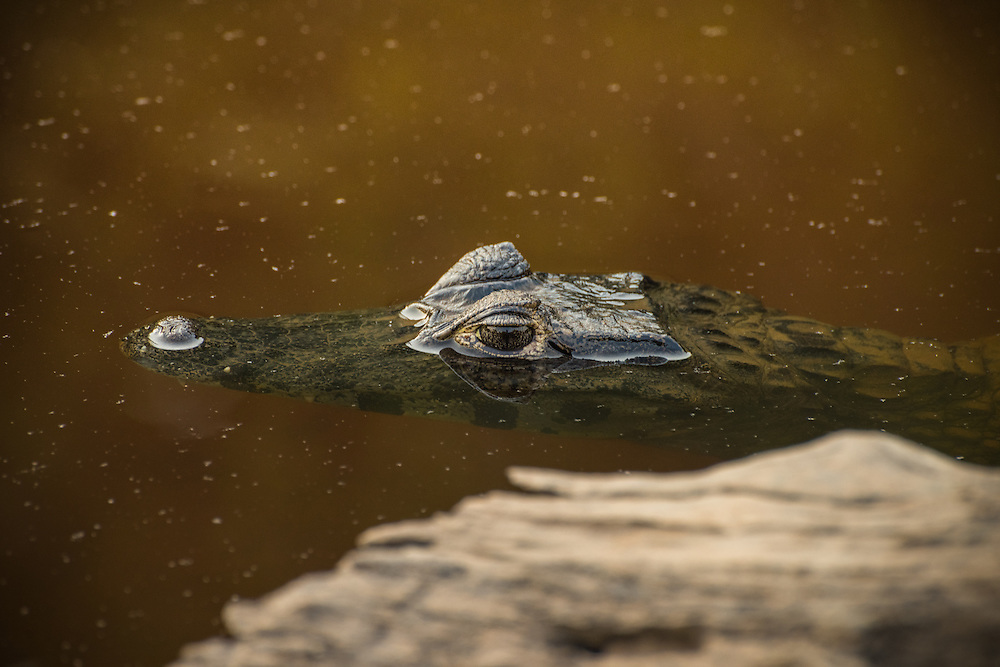 Cayman lurking in the water from behing the back of a peace of wood, Pantanal, Brazil.
