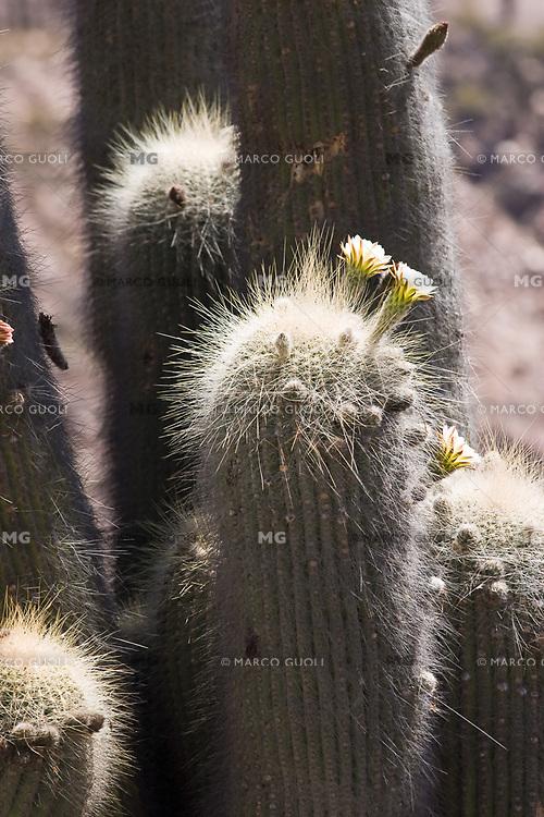 CARDONES (Trichocereus pasacana) FLORECIDOS, QUEBRADA DE HUMAHUACA, PROV. DE JUJUY, ARGENTINA