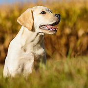 20131022 Joy Labrador Retrievers