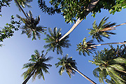 Ko Lipe, Thailand. Coconut palm trees.