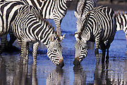 Plains Zebra<br /> Equus burchelli<br /> Drinking at waterhole<br /> Ngorongoro Conservation Area, Tanzania