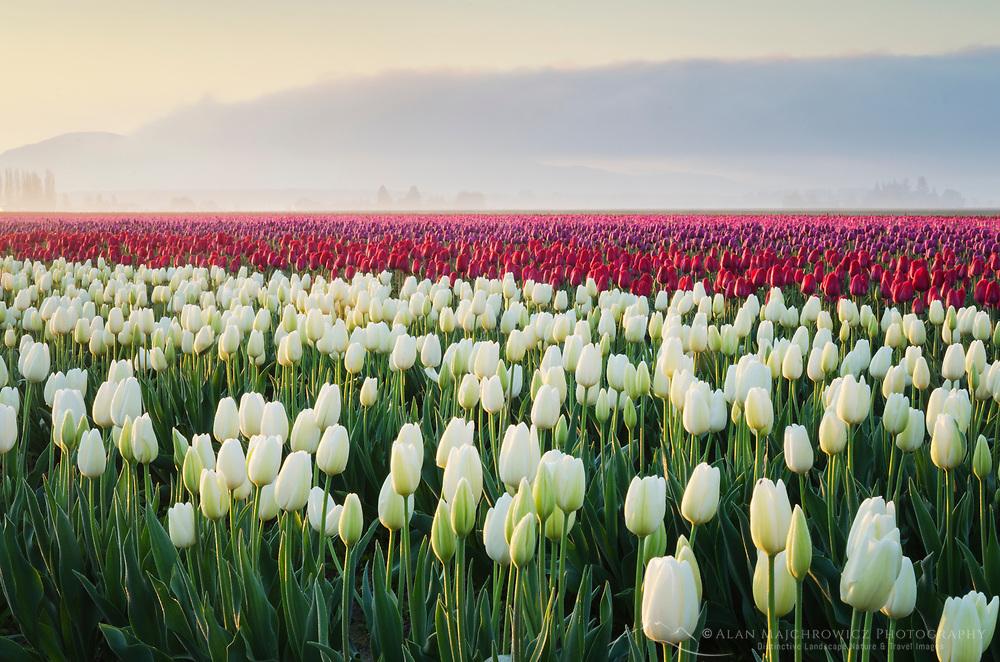 Sunrise over the Skagit Valley Tulip Fields, Washington