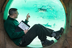London, UK. 2 January, 2020. A zookeeper counts Humboldt penguins during the annual stocktake at ZSL London Zoo. Every mammal, bird, reptile, fish and invertebrate is counted - a total of more than 500 different species - as part of an almost week-long audit required by the Zoo's licence, with the information recorded then shared with other zoos via the Species360 database.