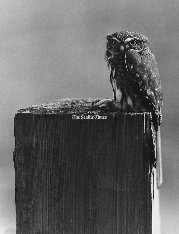 "A small owl, ""grounded"" by heavy fog near Sultan, stuck to its night-time perch atop a post until it was disturbed by a photographer. The owl, a variety called pygmy, was on a farm. (Josef Scaylea / The Seattle Times, 1976)"