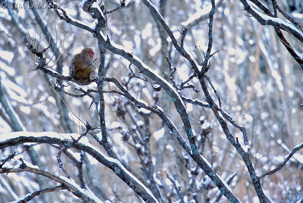 Snow Monkey or Japanese Macaque (Macaca fuscata) sitting in a tree.