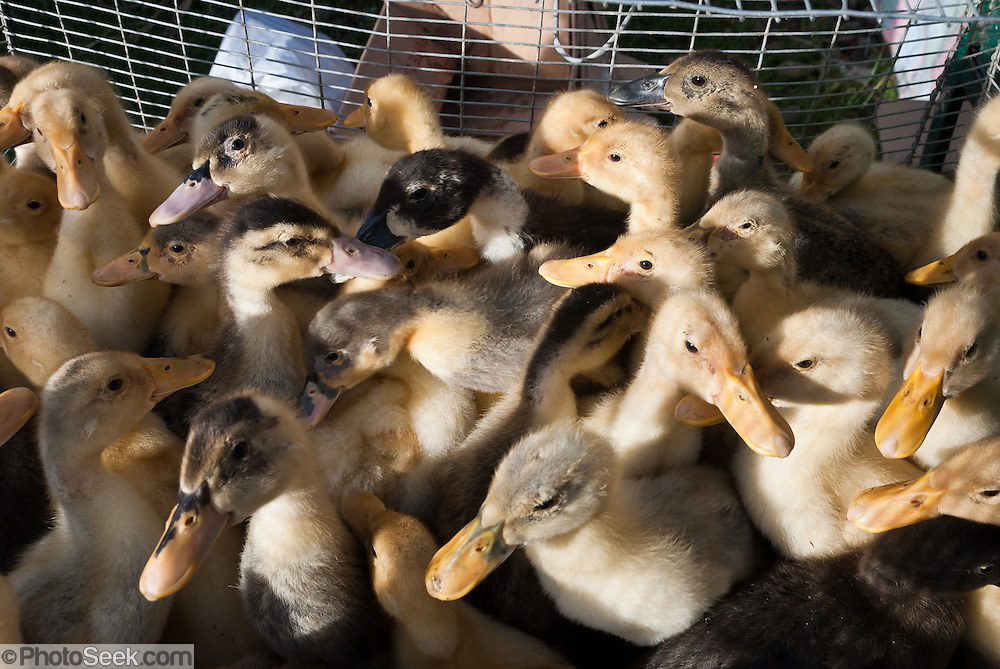 Baby ducks are sold at Saturday animal market, Otavalo, Ecuador, South America. The culturally vibrant town of Otavalo attracts many tourists to a valley of the Imbabura Province of Ecuador, surrounded by the peaks of Imbabura 4,610m, Cotacachi 4,995m, and Mojanda volcanoes. The indigenous Otavaleños are famous for weaving textiles, usually made of wool, which are sold at the famous Saturday market and smaller markets during the rest of the week. The Plaza del Ponchos and many shops tantalize buyers with a wide array of handicrafts. Nearby villages and towns are also famous for particular crafts: Cotacachi, the center of Ecuador's leather industry, is known for its polished calf skins; and San Antonio specializes in wood carving of statues, picture frames and furniture. Otavaliña women traditionally wear distinctive white embroidered blouses, with flared lace sleeves, and black or dark over skirts, with cream or white under skirts. Long hair is tied back with a 3cm band of woven multi colored material, often matching the band which is wound several times around their waists. They usually have many strings of gold beads around their necks, and matching tightly wound long strings of coral beads around each wrist. Men wear white trousers, and dark blue ponchos. Otavalo is also known for its Inca-influenced traditional music (sometimes known as Andean New Age) and musicians who travel around the world.
