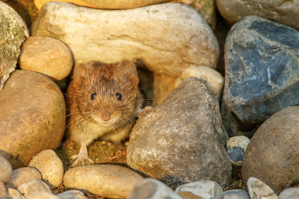 Bank Vole (Clethrionomys glareolus) adult foraging in stone pile, South Norfolk, UK. August.