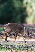 Blue Duiker, Mlilwane Game Reserve, Big Game Parks, Swaziland