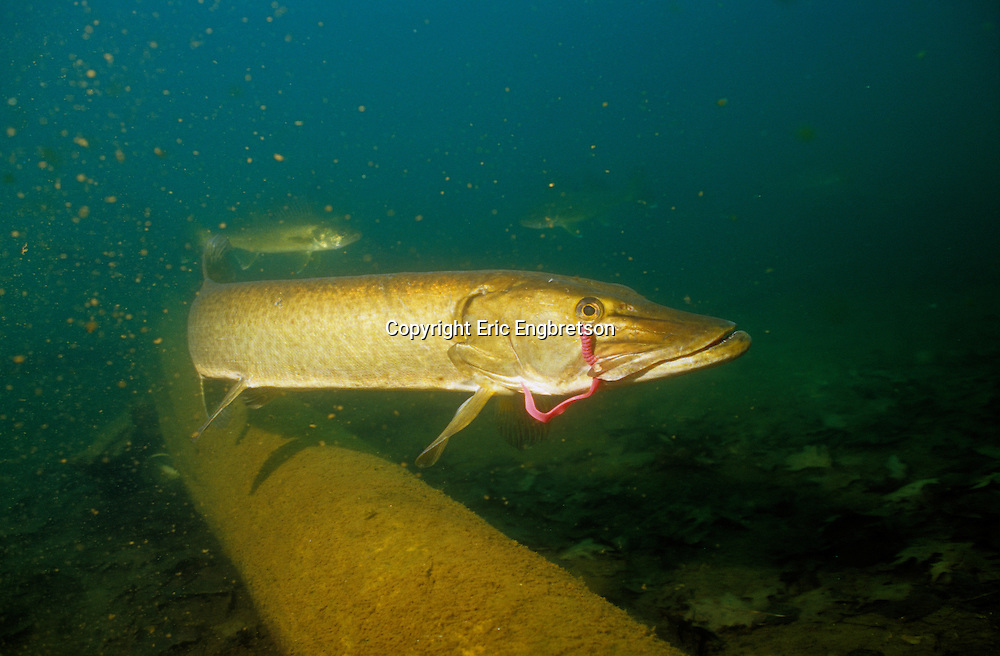 Muskellunge are often hooked on baits intended for other fish, and break free.  The lures however remain in place for some time. <br /> <br /> ENGBRETSON UNDERWATER PHOTO