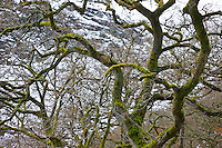 Oak Tree (Quercus robur), The Elan Valley, Rhayader, Mid-Wales, UK     ROBLE VALLE DE ELAN, RHAYADER, GALES MEDIO, REINO UNIDO