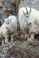 A mother Mountain goat and her kid on the side of a mountain when it is snowing