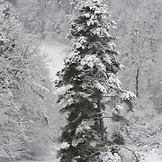 Pine tree in the snow, Auvergne, France