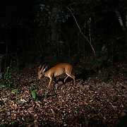 The common muntjac (Muntiacus muntjak), also called southern red muntjac and barking deer, is a deer species native to South and Southeast Asia.