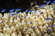 Blue green Damselfish (Chromis viridis) on Acropora digitifera coral - Agincourt reef, Great Barrier Reef, Queensland, Australia.