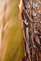 peeling Pacific Madrona (Arbutis Menziesii) Bark, Kitsap Peninsula, WA, USA