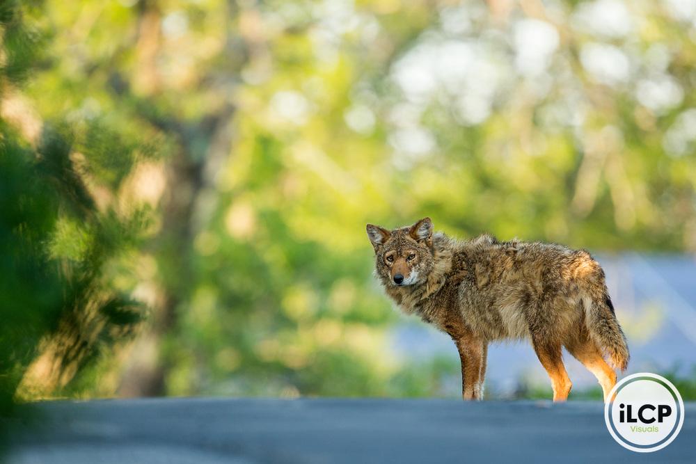 Coyote (Canis latrans) male on road, Gloucester, Cape Ann, eastern Massachusetts