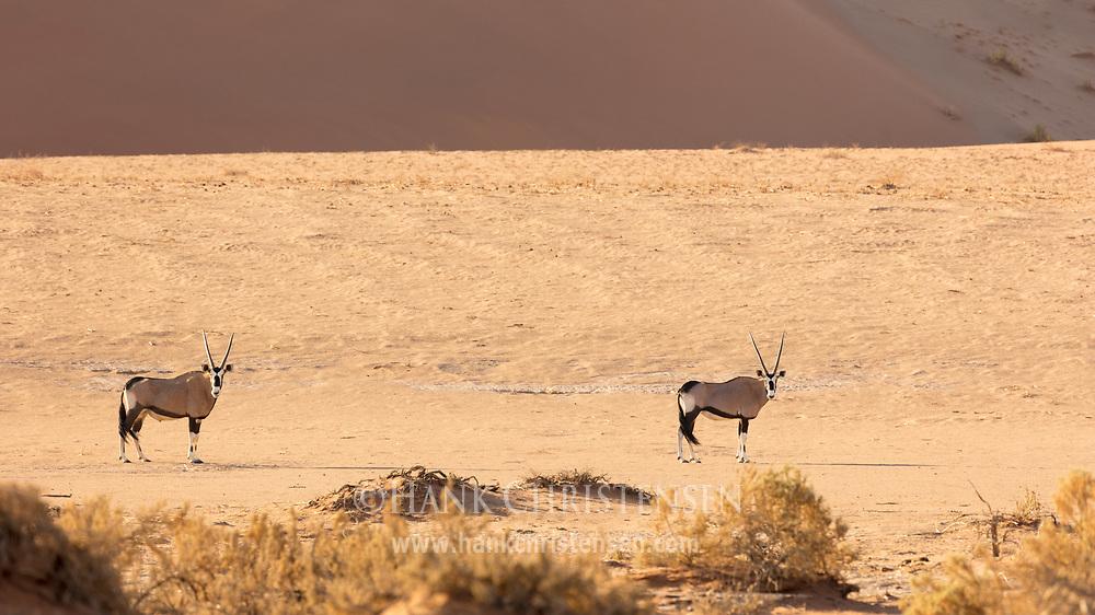Two gemsbok walk across desert sand, Namib-Naukluft National Park, Namibia.