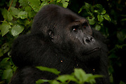 (February 21, 2009) Easter lowland gorilla silverback Chimanuka, in the wilds of Kahuzi-Biega National Park in the Democratic Republic of Congo.