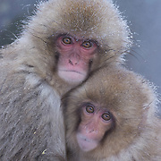 Snow monkey or Japanese red-faced macaque (Macaca fuscata) babies huddled together. Japan