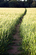Footpath through barley field, Shottisham, Suffolk, England