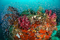 Healthy reef of soft corals and other filter feeders, Raja Ampat Islands, West Papua, Indonesia. The Raja Ampat Islands in West Papua are famous for their extraordinary marine biodiversity. The reefs around these islands are thought to be some of the most biodiverse on the planet.