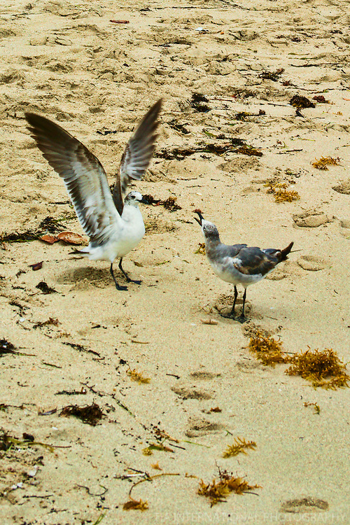 Seagull Squabble @ South Beach