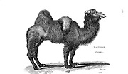 Bactrian camel (Camelus bactrianus) from General zoology, or, Systematic natural history Vol II Part 2 Mammalia, by Shaw, George, 1751-1813; Stephens, James Francis, 1792-1853; Heath, Charles, 1785-1848, engraver; Griffith, Mrs., engraver; Chappelow. Copperplate Printed in London in 1801 by G. Kearsley