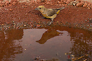 red crossbill (Loxia curvirostra) at a desert watering hole in central Oregon.