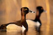 Ring-necked Duck, Aythya collaris , male, Saginaw Bay, Michigan