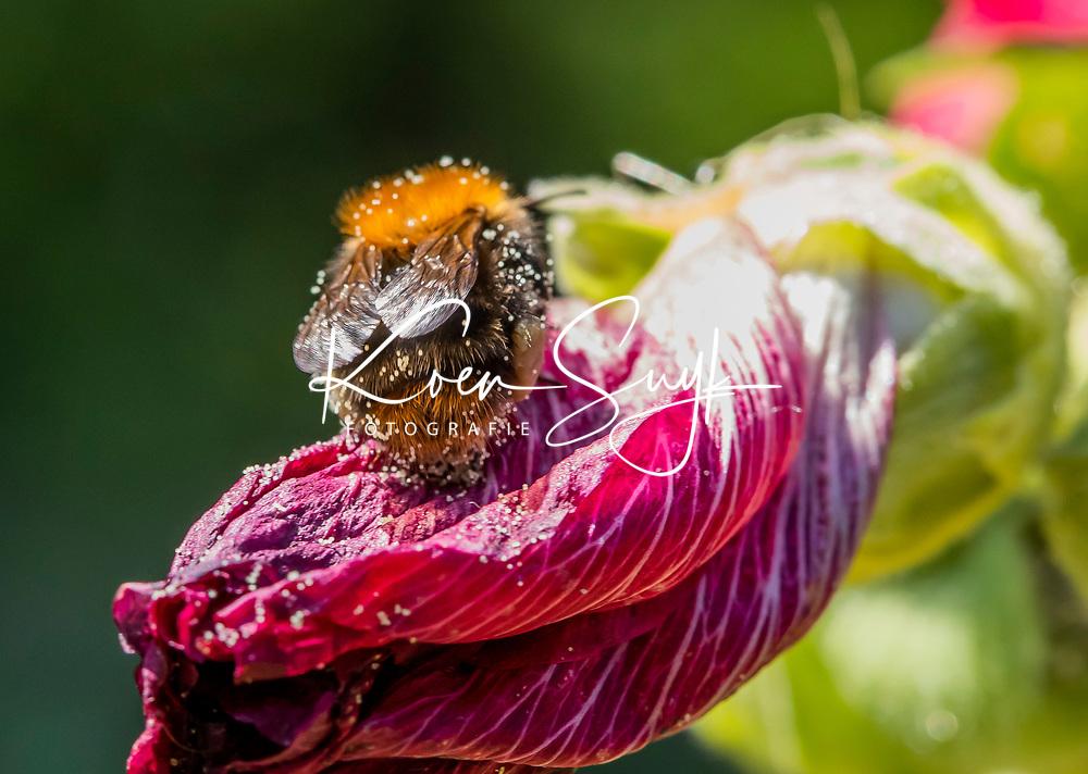 HALFWEG - insecten op de golfbaan ,Amsterdamse Golf Club. (AGC)  . Insecteninventarisatie  COPYRIGHT KOEN SUYK