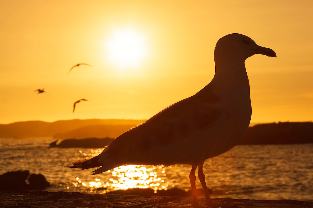 Silhouette of a seagull at sunset at the beach of Essaouira, Morocco.