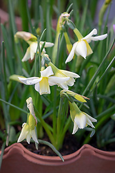 Narcissus 'Toto' AGM