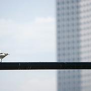 Nederland Rotterdam 9 juli 2010 20100709 Stadsgezicht Kop van Zuid. Op de voorgrond zitten meeuwen op een lijn. Op de achtergrond  hoogbouw nieuwbouw: Het hoogste kantoorgebouw van Nederland De Maastoren. :.stadsvernieuwing, vogel, vogels, vrij, water, wolkenkrabber, wolkenkrabbers, zonnig weer , tower, uitbreidingsgebieden, urban landscape, urbanisatie, urbanisering, urbanisme, urbanistisch, urbanistische, vastgoed, vernieuwing, vernieuwing stedelijk  Foto: David Rozing