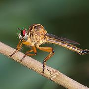 An Asilidae sp. robber fly